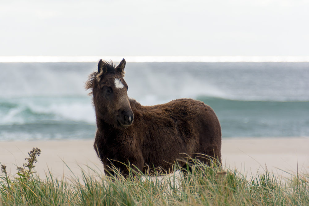A young horse on Sable Island shot by Picture Perfect Tours