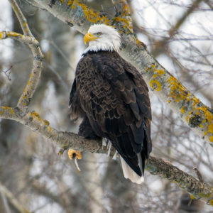Eagle Watch in Nova Scotia by Picture Perfect Tours